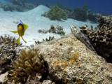 Two Banded Anemonefish (Amphiprion Bicinctus) And Lizardfish. Dahab. Red Sea