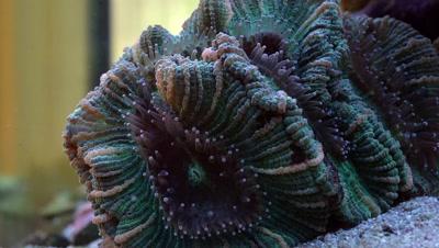 Feeding brain coral (Trachyphyllia geoffroyi) with fishes in aquarium