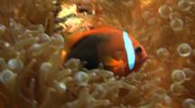 Tomato Anemonefish Swimming Hides In Anemone