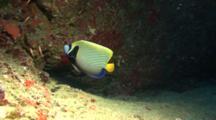 Emperor Angelfish Swims Under Overhang In The Light Cone