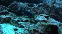 White-Spottet Boxfish Feeds On Rocky Reef