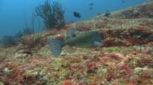 Yellow Boxfish Swims And Feeds Over Rocky Reef