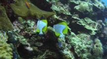 Pair Of Pyramid Butterflyfishes Being Cleaned