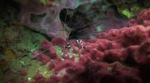 Banded Coral Shrimp On Red Corals