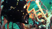 Black Giant Frogfish Opens Mouth Widely