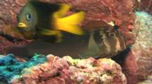 Large Banded Blenny Rests On Rock With And Damselfish Enters Frame