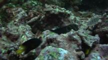 Large Banded Blenny Rests On Rock With Damselfishes Around