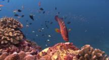 Coral Grouper Hovers Over Coral Reef