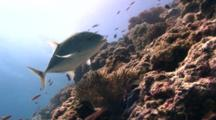 Bluefin Trevally Swims In Circles Over Slopy Reef