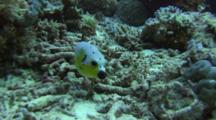 Blackspotted Pufferfish Feeds In The Sand
