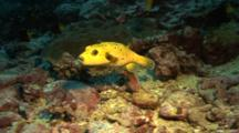 Yellow Version Of Guineafowl Pufferfish Hovers Over Rocky Ground