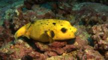 Yellow Version Of Guineafowl Pufferfish Rests On Rocks