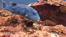 Star Pufferfish Feeds On Corals