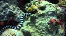 Banded Sea Snake Searches For Food In A Coral Reef