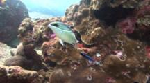Breadled Monocle Bream Swims In Front Of A Coral Head