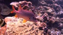 Langjawed Squirrelfish Swims Over Coral Reef