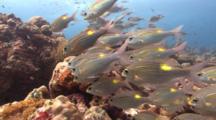 Swim Through A Shoal Of Striped Learge-Eye Bream