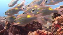 Shoal Of Striped Learge-Eye Breams Close