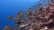 Move With Striped Learge-Eye Breams Over Coral Reef