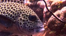 Harlequin Sweetlips  Face Close