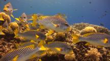 Swim Through Shoal Of Lined Sweetlips Hover Over Coral Reef