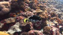 Clown Triggerfish Swims Over Slopy Coral Reef