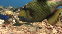 Titan Triggerfish Feeds On Corals