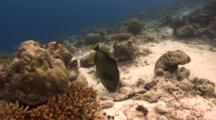 Titan Triggerfish Hovers Over Nest