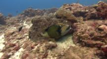 Titan Triggerfish Feeds In The Sand