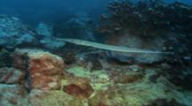 Cornetfish Swims Over Rocky Reef