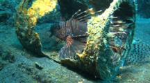 Common Lionfish With Green Cleaner Shrimp In Broken Drum