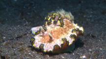 Nudibranch Glossodoris Cincta Movers On Sandy Ground