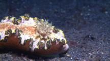 Nudibranch Glossodoris Cincta Movers On Sandy Ground With View On Gills