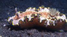 Nudibranch Glossodoris Cincta Movers On Sandy Ground With View