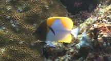 Pyramid Butterflyfish With Cleaner Fish