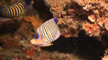 Regal Angelfish Tries To Hide