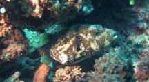 Map Pufferfish Hides Under Corals