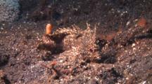 Longspine Waspfish Rest On Sandy Ground