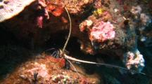 Mud Spine Lobster In Hole With Its Antennas Out