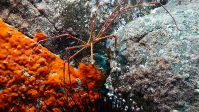 arrow crab Fuerteventura Spain