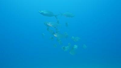 little shoal of bastard grunts Fuerteventura Spain
