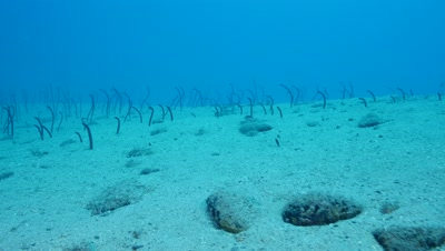 field of brown garden eels Fuerteventura Spain