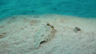 common sole Fuerteventura Spain