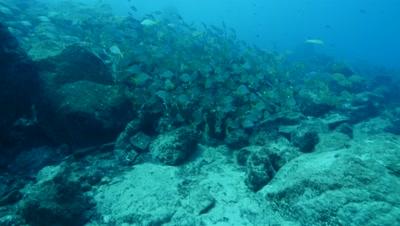 shoal of bastard grunts over rocks Fuerteventura Spain