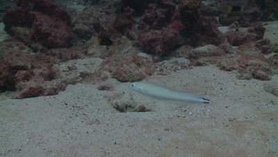 white dartfish Cocos Costa Rica