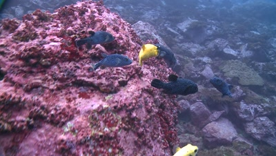 group of guineafowl pufferfishes Malpelo Colombia