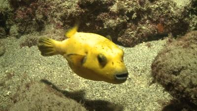 guineafowl pufferfish Malpelo Colombia