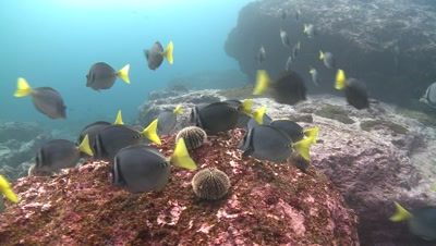 razor surgeonfish Malpelo Colombia