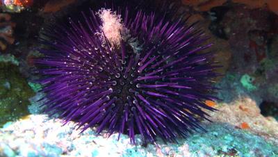 purple sea urchin  Mallorca Spain