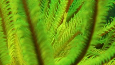 Ambon Crinoid Shrimp  Negros Philippines